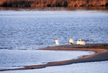 Marsh Lake has the largest pelican rookery in the nation.